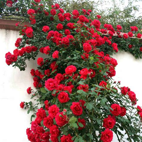 Red Rose Plant Reviews  Online Shopping Red Rose Plant