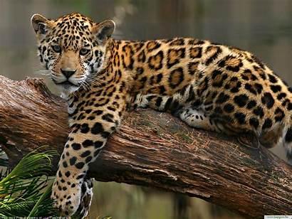 Animals Wild Desktop Leopard Jaguar Leoprad Tapety