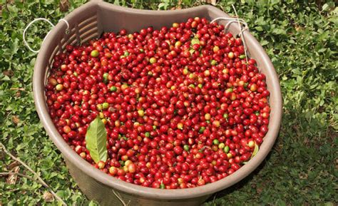 Costa rican coffee is considered some of the best in the world. SPECIAL REPORT: Costa Rica's Seal of Sustainability in Coffee - Geographical Indication ...