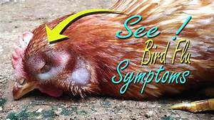 Avian Influenza Symptom In Chickens  U0026quot Bird Flu H5n1 Virus