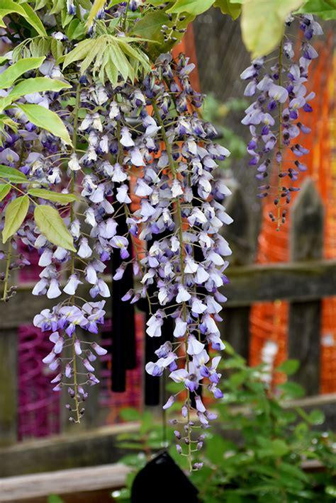 japanese wisteria wisteria floribunda  fayetteville