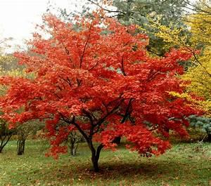Les Plus Beaux Arbres Pour Le Jardin : rable du japon planter et tailler ooreka ~ Premium-room.com Idées de Décoration