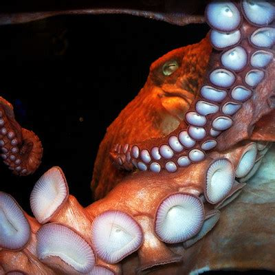 what color is an octopus what color is octopus blood globalquiz org