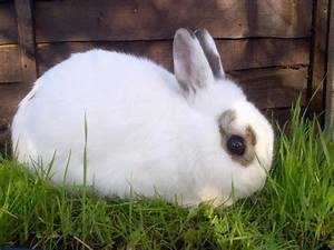 Pics For > White Dwarf Rabbit