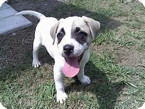Billy | Adopted Puppy | Callahan, FL | English Bulldog ...