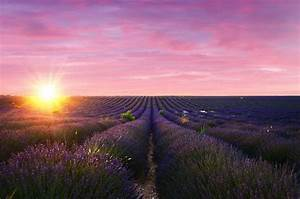 Visiting, The, Lavender, Fields, Of, Valensole, France