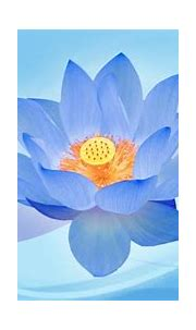 Attractive High Quality Wallpapers Blue Lotus