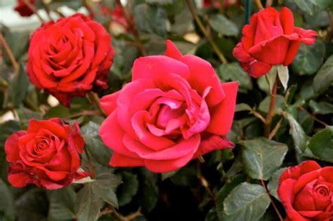 Skaistākās rožu šķirnes pasaulē (+bildes) in 2020 | Flowers, Rose, Plants