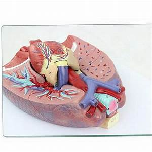 Human Anatomical Anatomy Respiratory System Medical Model
