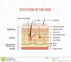 Vol 2 Structure Of The Skin Info Graphics Illustration