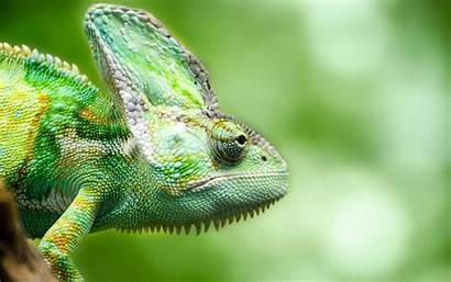 Chameleon Lizard Colorful Bright Creature Fhd Wallpapercare