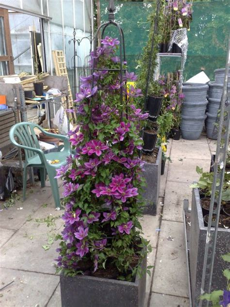 can i plant clematis in a pot clematis temptation hardy 2 year plants 2 litre pot ebay