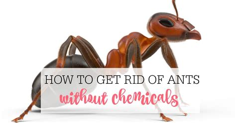 ways   rid  ants naturally frugally blonde