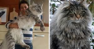 maine coon cat 21 maine coon cats that will make your kitty look