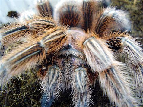 spinnen vogelspinnen hintergrundbild gratis