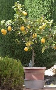 Zitronenbaum Gelbe Blätter : 10 ideen zu zitronenbaum auf pinterest zitronen samen ~ Lizthompson.info Haus und Dekorationen