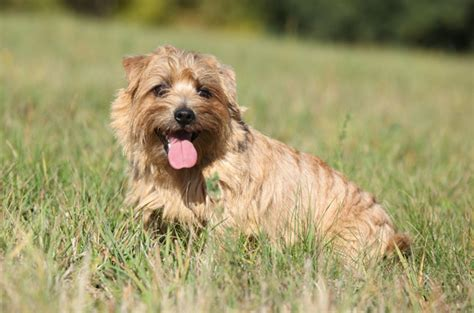 Cairn Terrier Non Shedding Small Dogs by Norfolk Terrier