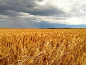 wheat crop - ABC News (Australian Broadcasting Corporation)