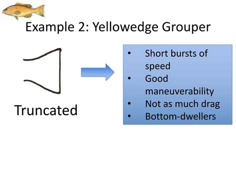 yellowedge grouper morphology shipwrecks example fish ppt powerpoint presentation maneuverability truncated dwellers bursts drag speed bottom much