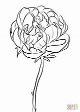 Peony Coloring Pages Flower Drawing Printable Flowers Printables Louisville Cardinals Print Colors Line Adult Dahlia Cardinal Floral Drawings Getcolorings Crafts sketch template