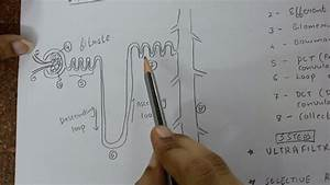 10th Biology- Structure Of Nephron