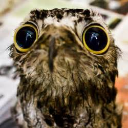 the potoo nature 39 s most surprised looking bird lazer