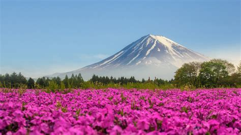 Mountain Fuji Japan Shibasakura Pink Color Flower 4k Ultra