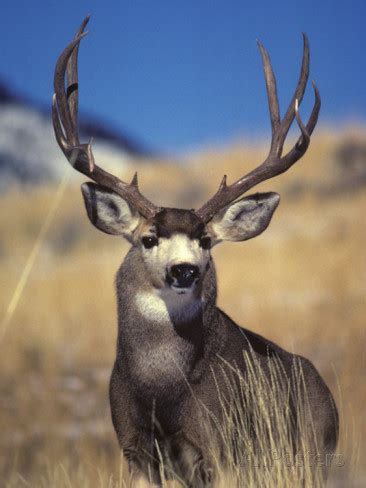 mule deer hunting    diffcultbut