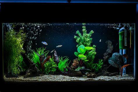 apistogramma  dwarf cichlid aquarium  op