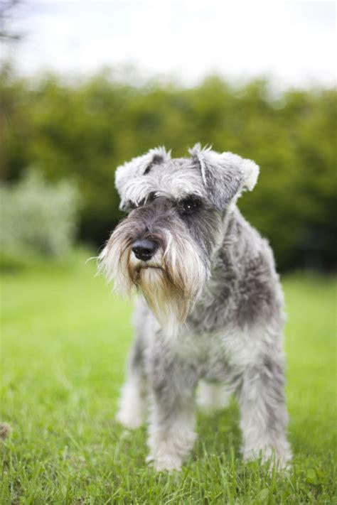 100 large low shedding dogs irish wolfhound dog