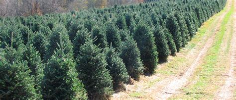 christmas tree farms chattanooga weaver tree farm