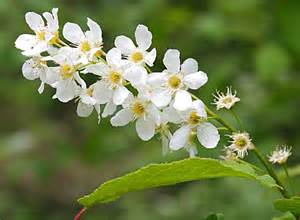 Portugal Laurel Flowers