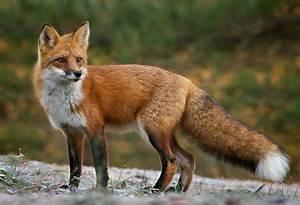 red fox | Our Wild World  Fox