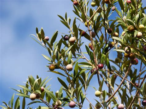 label cuisine l 39 olive en fête en balagne