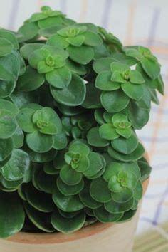 peperomia verticillata zwergpfeffer pflanzen