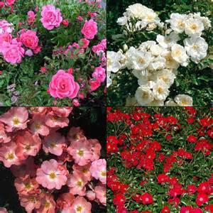 Carpet Roses Colors rosa flower carpet 174 roses boething treeland farms