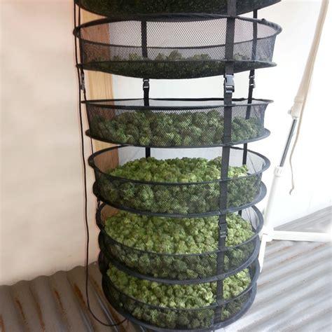 chambre de sechage cannabis le séchage et le curing du cannabis weedseedshop