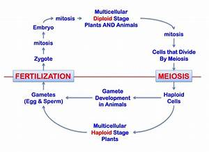 Reproduction  Meiosis And Fertilization