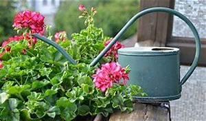 Balkonpflanzen Hängend Pflegeleicht : pflegeleichte balkonpflanzen ganzj hrig und winterhart ~ Lizthompson.info Haus und Dekorationen