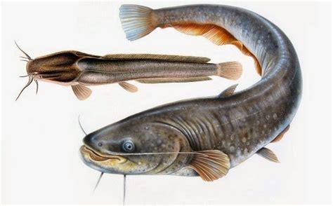 Gambar Ikan Lele Terlengkap mendulang jutaan rupiah dari ikan lele ahmad yazid