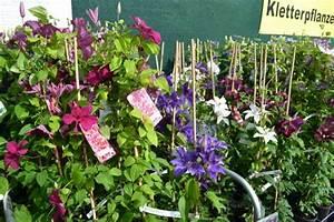 Clematis Pflanzen Kübel : bestehorns markt gartencenter schling und kletterpflanzen ~ Orissabook.com Haus und Dekorationen