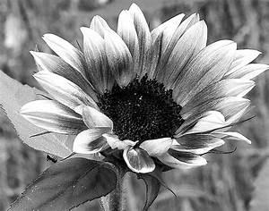 eleletsitz: Sunflowers Tumblr Black And White Images