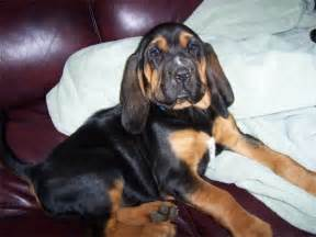 Bloodhound Dog Colors