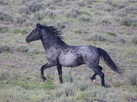 Red Roan Horse Color