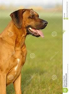Rhodesian Ridgeback Male Stock Images - Image: 8651994
