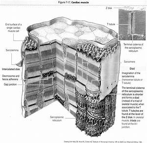 Cardiac Muscle Cell Labeled Diagram