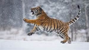 Tiger, Is, Playing, On, Snow, Field, With, Snow, Background, Hd