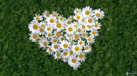 margherite fiori cuore di fiori