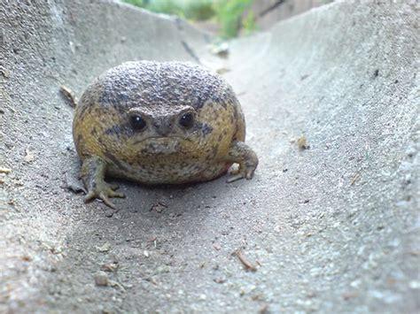 recipe  giant rain frog sadness featured creature
