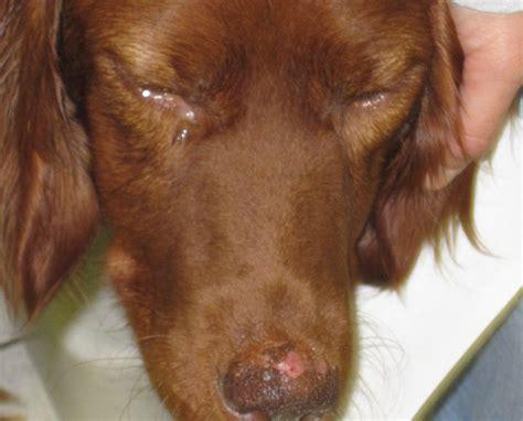 fileleishmaniose hundjpg wikimedia commons